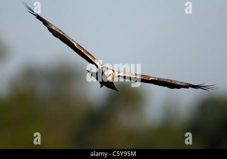 Aguilucho lagunero Circus aeruginosus un macho adulto en vuelo. Norfolk, UK Imagen De Stock