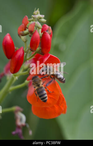 Las abejas de miel, Apis mellifera, cazando flores de color rojo brillante del fríjol, Berkshire, Agosto Imagen De Stock