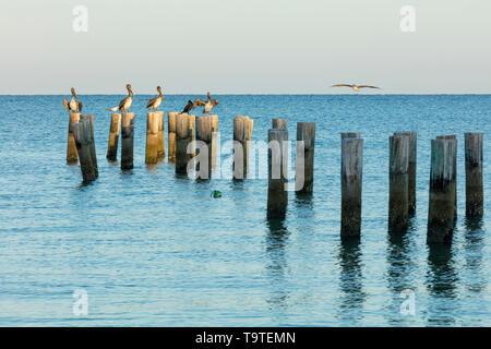 Pelícanos (Pelecanus occidentalis) en el muelle pilotes con vistas al Golfo de México, Naples, Florida, EE.UU. Imagen De Stock
