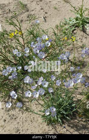 Flores silvestres en el desierto Mohave ecosistema de Big Rock Creek Wildlife Sanctuary, California. Fotografía Digital. Imagen De Stock