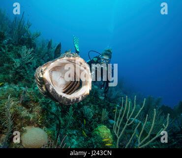 Scuba Diver toma video de mero negro. Imagen De Stock
