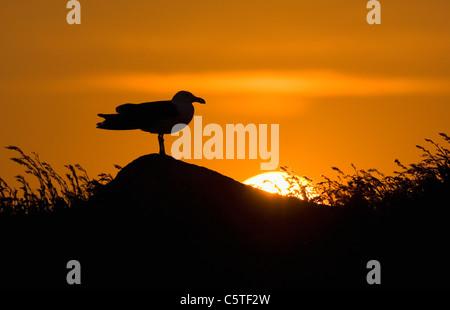 Gran negro-respaldado GULL Larus marinus adulto en silueta contra el sol poniente. De mayo. Las Islas saltee, República Imagen De Stock