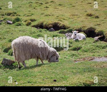 Oveja oveja y cordero en un prado, Islas Feroe, Dinamarca Imagen De Stock