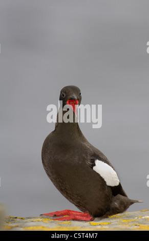 GUILLEMOT Cepphus grylle negro adulto llamando a un adulto cercano mostrando su boca roja. Islas Shetland (Escocia, Imagen De Stock