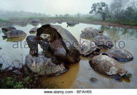 Las tortugas gigantes de apareamiento, Geochelone nigra, volcán Alcedo, la Isla Isabela, Islas Galápagos Imagen De Stock