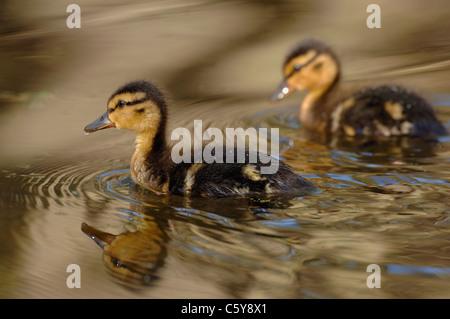 Ánade real Anas platyrhynchos un par de patitos nadar a lo largo de un tranquilo canal. De junio. Derbyshire, Imagen De Stock