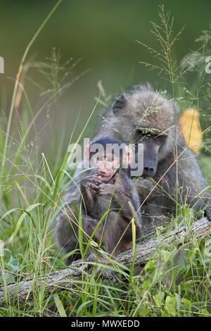 Chacma Baboon (Papio ursinus) bebé, el Parque Nacional Kruger, Sudáfrica, África Imagen De Stock