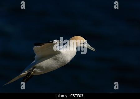 Norte de Gannett Morus bassanus adulto en vuelo en la costa de las corrientes ascendentes, East Yorkshire, Reino Imagen De Stock