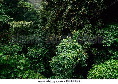 El dosel del bosque nuboso, la Reserva Biológica Bosque Nuboso de Monteverde, Costa Rica Imagen De Stock
