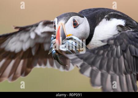 Close-up de un frailecillo atlántico (Fratercula arctica) en vuelo, trayendo un lance de anguilas de arena de vuelta a su madriguera en la isla de Skomer, Gales Imagen De Stock