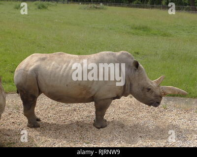 El rinoceronte blanco o cuadrados de rinoceronte labiado (Ceratotherium simum) es la mayor especies de rinocerontes. Imagen De Stock