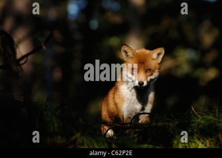 Zorro Rojo Vulpes vulpes un macho adulto en su abrigo de invierno se detiene en un parche de luz en un bosque de Imagen De Stock
