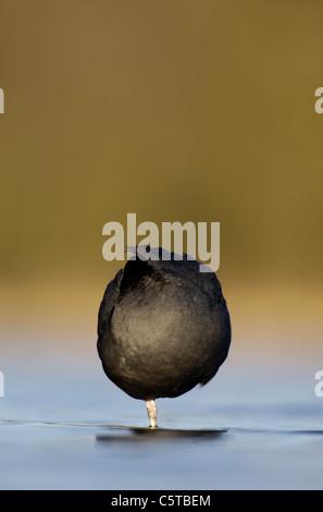Focha Común Fulica atra un adulto forma un círculo casi perfecto que se posa sobre un lago tranquilo al Imagen De Stock
