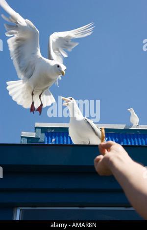 Una persona materna papas fritas a las gaviotas Imagen De Stock