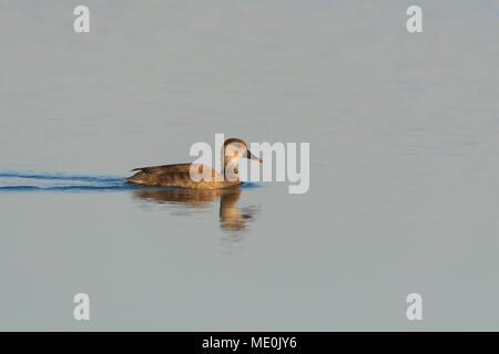 Hembra rojo-crested pochard (Netta rufina) nadar en el Lago Neusiedl, en el Burgenland, Austria Imagen De Stock