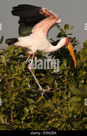 Cigüeña de pico amarillo, Moremi Game Reserve, Botswana, África (Mycteria ibis) Imagen De Stock