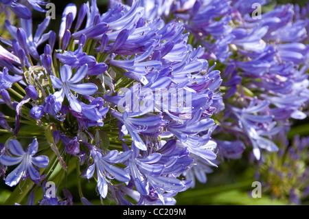 Agapanthus Azul - Lirio de los Nioe - Lily africana Imagen De Stock