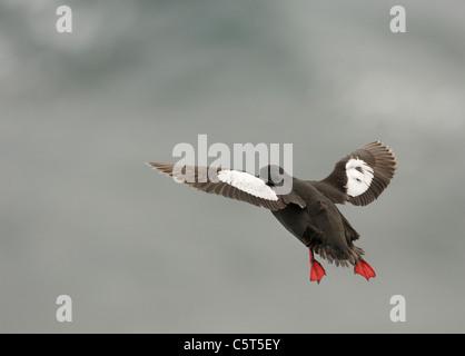 GUILLEMOT NEGRO Cepphus grylle un adulto toma vuelo, su distintivo rojo piernas claramente visible. Islas Shetland Imagen De Stock