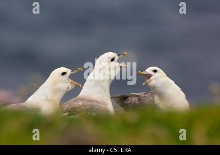 FULMAR Fulmarus glacialis un grupo de tres los fulmars parlotear ruidosamente mostrando su llamada. Julio. Islas Imagen De Stock