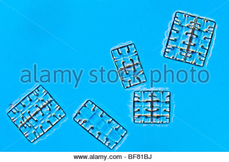Las diatomeas, Herbario Farlow, Harvard University Imagen De Stock