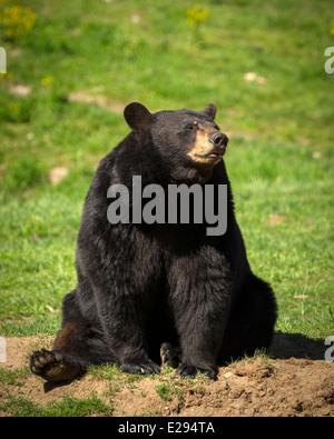 Un gran oriental de oso negro americano (Ursus americanus) se asienta en el sol brillante. Imagen De Stock