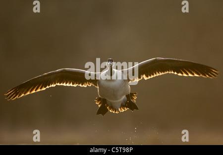Canadá ganso Branta canadensis un adulto, retroiluminado con luz del atardecer, llegando a la tierra al atardecer. Imagen De Stock