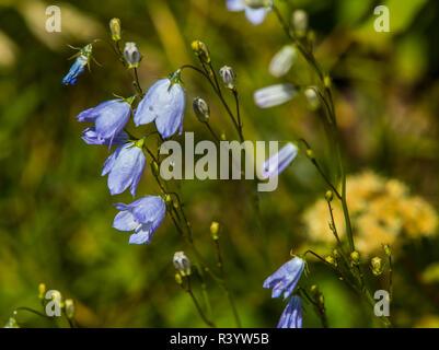 El parque nacional de Glacier, Montana. Flores alpinas Imagen De Stock