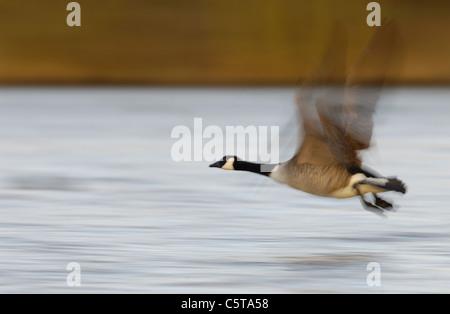 Canadá ganso Branta canadensis un adulto despegar en luz del atardecer (borrosa para ilustrar el movimiento). Imagen De Stock