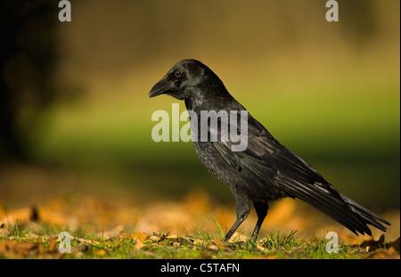 CARRION CROW Corvus corone corone un adulto visto de perfil entre las hojas otoñales. Derbyshire, Reino Unido Imagen De Stock