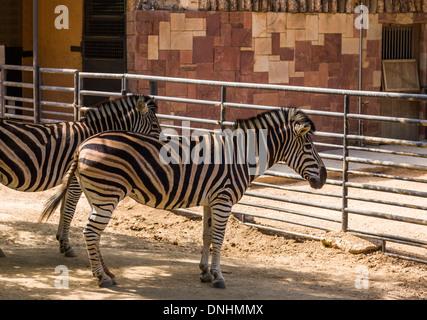 Cebras de Chapman (Equus quagga chapmani) en un zoo, el Zoo de Barcelona, Barcelona, Cataluña, España Imagen De Stock