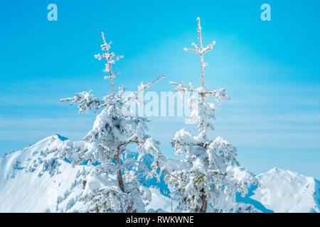 Los abetos cubiertos de nieve con fondo macizo montañoso Imagen De Stock