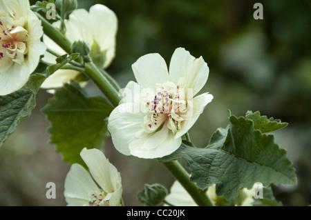 (Althaea Parkalee Alcea) Imagen De Stock