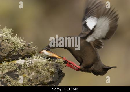 GUILLEMOT Cepphus grylle negro adulto aterriza sobre un liquen cubiertos rock con un gran pez. Julio. Islas Shetland Imagen De Stock