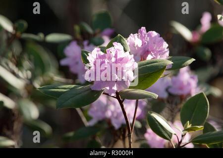 Wild rhododendron floración en Cumberland Gap. Fotografía Digital. Imagen De Stock