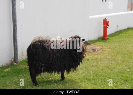 Ovejas Negras por un edificio permanente, Islas Feroe, Dinamarca Imagen De Stock