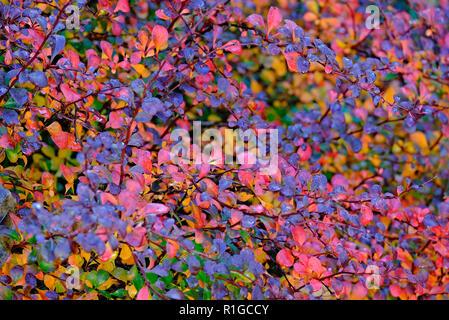 Hojas otoñales en otoño el jardín inglés, Cambridge, Inglaterra. Imagen De Stock