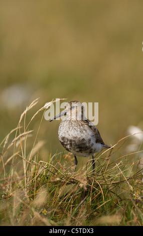 Playerito Vientre Negro Calidris alpina de un adulto en el páramo abierto. Islas Shetland (Escocia, Reino Unido) Imagen De Stock