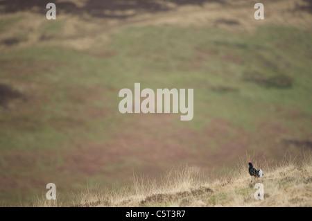 Tetrao tetrix urogallo negro un macho adulto de visualización en un páramo abierto al amanecer. Escocia, Imagen De Stock