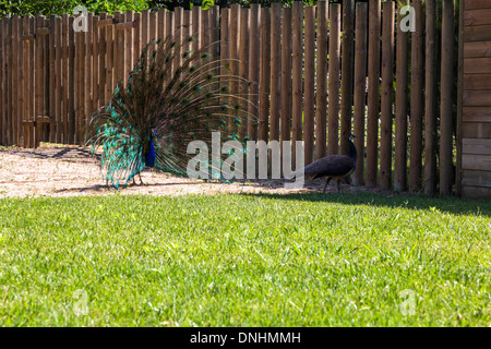 Indian peafowl masculina (Pavo cristatus) mostrando plumaje, Zoológico de Barcelona, Barcelona, Cataluña, Imagen De Stock