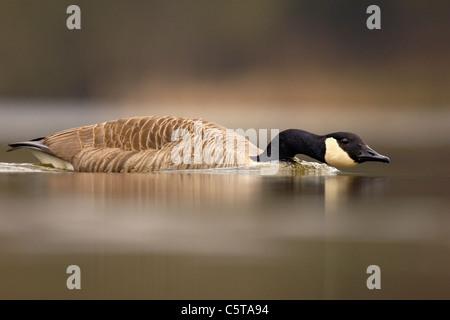 Canadá ganso Branta canadensis un adulto cargos agresivamente a otro en una disputa por el territorio. Derbyshire, Imagen De Stock