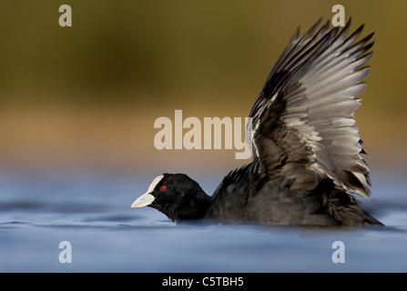 Focha Común Fulica atra un adulto extiende sus alas después de bañarse. De marzo. Derbyshire, Reino Imagen De Stock