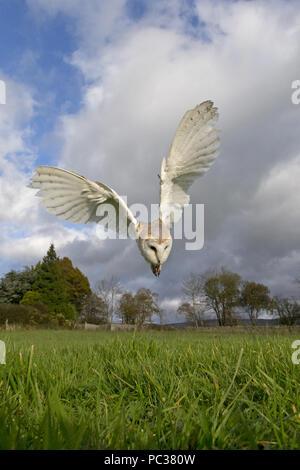 Lechuza de Campanario (Tyto alba) adulto, volar, bucear hacia presa en el césped, Cumbria, Peak District, Inglaterra, Reino Unido, Noviembre, sujeto controlado Imagen De Stock
