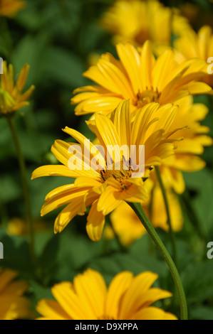 - Girasol Helianthus helianthoides Var Scabra Imagen De Stock