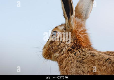 BROWN LIEBRE Lepus europaeus close up retrato de un adulto en el perfil. De marzo. Derbyshire, Reino Unido Imagen De Stock