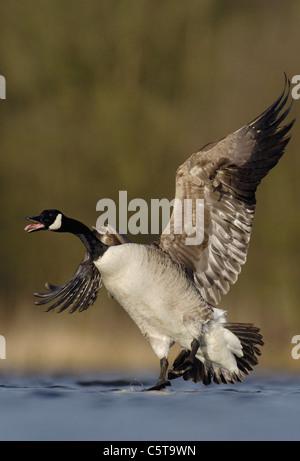 Canadá ganso Branta canadensis un adulto llamadas a otros gansos que aterriza en un lago en invierno la luz Imagen De Stock