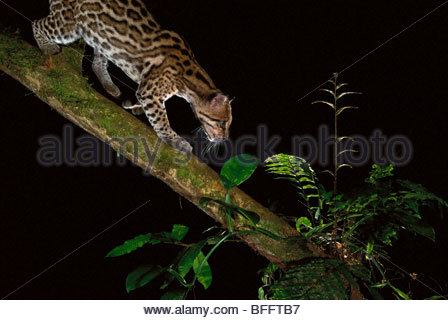 El cunaguaro capturado por cámaras trampa, Leopardus pardalis, la Reserva Nacional Tambopata, Perú Imagen De Stock