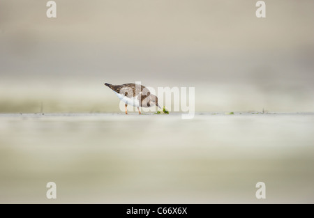 Arenaria interpres Turnstone Perfil de un adulto en una playa apartada de forrajeo de las Islas Shetland, Escocia, Imagen De Stock