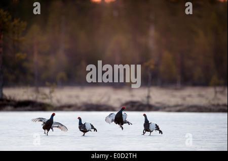 Urogallo negro, dos pares de hombres luchando en lago congelado al amanecer. Abril 2012, Kuhmo, Finlandia (Tetrao tetrix) Imagen De Stock