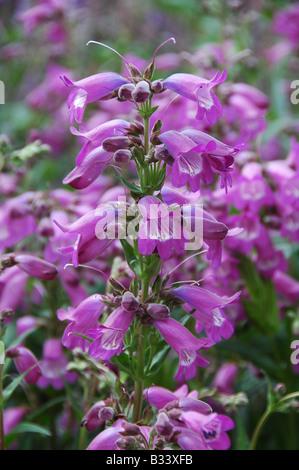 Herbácea perenne de floración desde mediados de verano UK Imagen De Stock