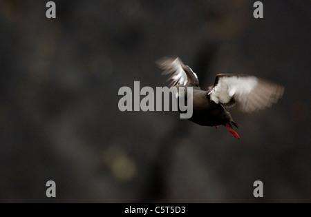 GUILLEMOT Cepphus grylle negro adulto oscila brevemente como se prepara para aterrizar entre acantilados costeros. Imagen De Stock